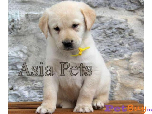 Labrador Puppy Price In Ahmedabad | Labrador Puppy For Sale In Ahmedabad | Asia Pets