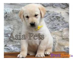Labrador Puppy Price In Bhopal | Labrador Puppy For Sale In Bhopal
