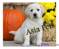 Labrador Puppy Price In Andaman and Nicobar Islands | Labrador Puppy For Sale In Andaman
