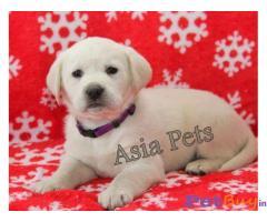 Labrador Puppy Price In Chandigarh | Labrador Puppy For Sale In Chandigarh