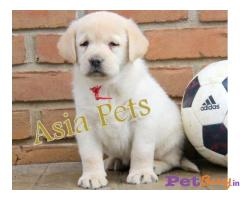 Labrador Puppy Price In Dadra and Nagar Haveli   Labrador Puppy For Sale In Dadra and Nagar Haveli