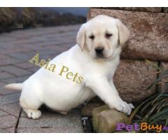 Labrador Puppy Price In Goa | Labrador Puppy For Sale In Goa