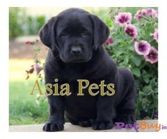 Labrador Puppy Price In Guwahati | Labrador Puppy For Sale In Guwahati