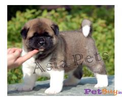 AKITA Puppy for sale india