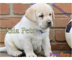Labrador Puppy Price In Jaipur   Labrador Puppy For Sale In Jaipur