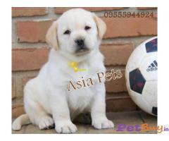Labrador Puppy Price In Kerala | Labrador Puppy For Sale In Kerala