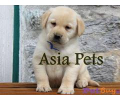 Labrador Puppy Price In kochi | Labrador Puppy For Sale In kochi