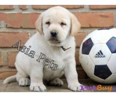 Labrador Puppy Price In Lakshadweep | Labrador Puppy For Sale In Lakshadweep