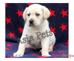 Labrador Puppy Price In Lucknow | Labrador Puppy For Sale In Lucknow