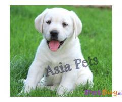 Labrador Puppy Price In Patna | Labrador Puppy For Sale In Patna