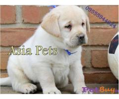 Labrador Puppy Price In Uttarakhand | Labrador Puppy For Sale In Uttarakhand