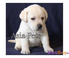 Labrador Puppies Price In Vizag, Labrador Puppies For Sale In Vizag
