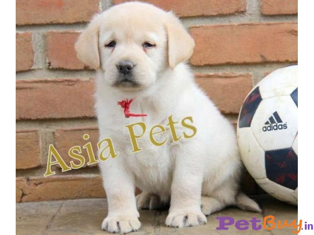 Labrador Puppies Price In Daman and Diu dagger, Labrador Puppies For Sale In Daman