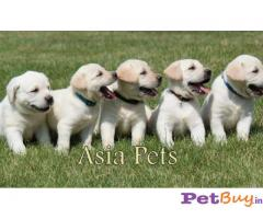 Labrador Puppies Price In Jodhpur, Labrador Puppies For Sale In Jodhpur