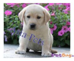 Labrador Pups Price In Uttarakhand, Labrador Pups For Sale In Uttarakhand