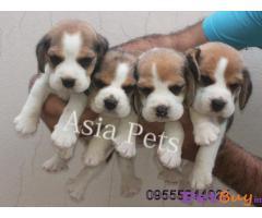 Beagle Dog Price In Jaipur   Best & Quality Dog In Jaipur