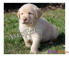 Labrador Pups Price In Thane, Labrador Pups For Sale In Thane