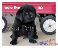 Labrador Pups Price In Indore, Labrador Pups For Sale In Indore