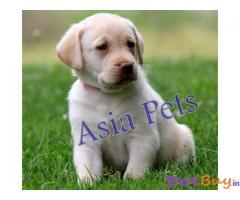 Labrador Pups Price In Jaipur, Labrador Pups For Sale In Jaipur