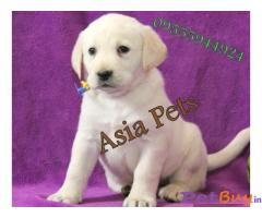 Labrador Pups Price In Lucknow, Labrador Pups For Sale In Lucknow