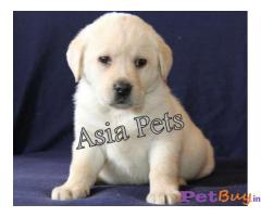 Labrador Pups Price In Meghalaya, Labrador Pups For Sale In Meghalaya