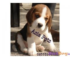 Beagle puppies for sale in Mysore