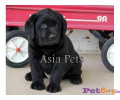 Labrador Pups Price In Orissa, Labrador Pups For Sale In Orissa