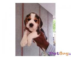 Beagle Pups Price In Indore, Beagle Pups For Sale In Indore