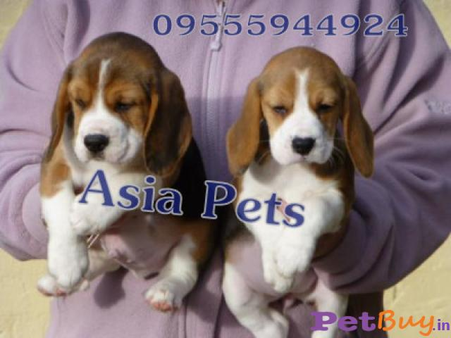 Beagle Pups Price In Vizag, Beagle Pups For Sale In Vizag