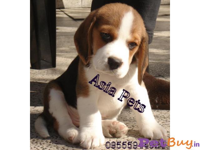 Beagle Pups Price In Vijayawada, Beagle Pups For Sale In Vijayawada