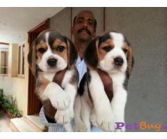 Beagle Pups Price In Lucknow, Beagle Pups For Sale In Lucknow