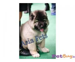 Caucasian Shepherd Pups Price In Agra, Caucasian Shepherd Pups For Sale In Agra