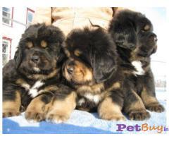 ❄❄  ASIA PETS ❄❄  Tibetan Mastiff PUPPIES FOR SALE