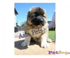 Caucasian Shepherd Pups Price In Dadra and Nagar Haveli, Caucasian Shepherd Pups For Sale In Dadra