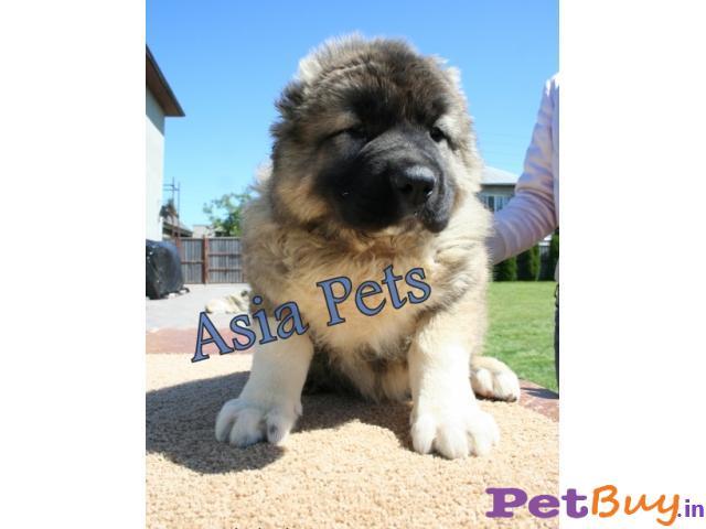 Caucasian Shepherd Pups Price In Gujarat, Caucasian Shepherd Pups For Sale In Gujarat