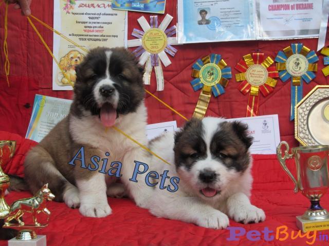 Caucasian Shepherd Pups Price In Madhya Pradesh, Caucasian Shepherd Pups For Sale In Madhya Pradesh