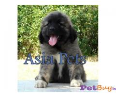 Caucasian Shepherd Pups Price In Maharashtra, Caucasian Shepherd Pups For Sale In Maharashtra