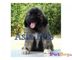 Caucasian Shepherd Puppy Price In Agra, Caucasian Shepherd Puppy For Sale In Agra