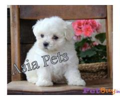 Maltese puppies in mumbai : Buy or Sell Pets in Mumbai