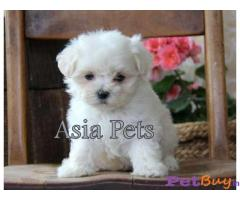 Maltese Dog In India | Maltese Dog Price In India | Breed