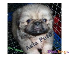 Dogs pekingese India - Pets - Pet Accessories India
