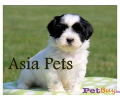 Havanese Price in India,Havanese puppy for sale in Delhi