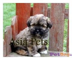 Havanese Price in India, Havanese puppy for sale in Pune