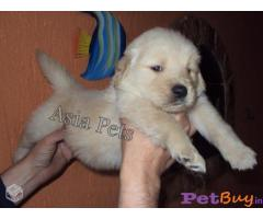 Golden retriever for sale : Buy or sale Pets in Hyderabad