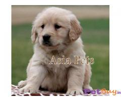 Golden Retriever dogs for sale Hyderabad    Asiapets