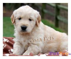 Golden Retriever Price in India, Golden Retriever puppy for sale in Hyderabad, INDIA