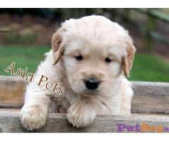 Golden retriever puppies - Hyderabad & Secunderabad