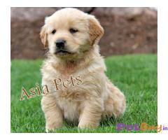 Golden retriever puppies for sale in bangalore, Golden retriever puppies price in bangalore