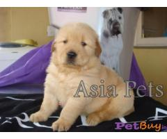 Golden Retriever Puppies for Sale, Golden Retriever Puppy for Sale
