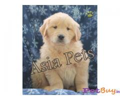 Golden Retriever dogs for sale Bangalore